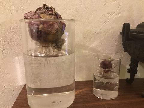 【植物のある暮らし】ヒヤシンス・アリウムの水栽培8日目