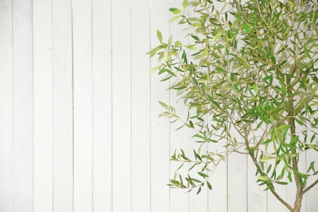 【オリーブの木】おしゃれな庭木、シンボルツリーで人気。
