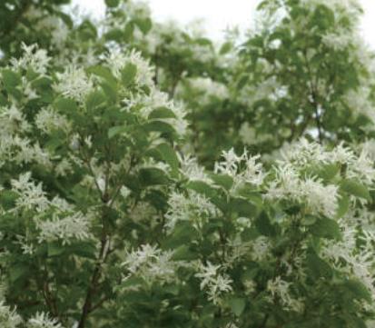 アオダモ、花.png
